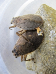 Abedus herberti female depositing eggs on the back of her mate