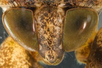 Lethocerus uhleri, up close